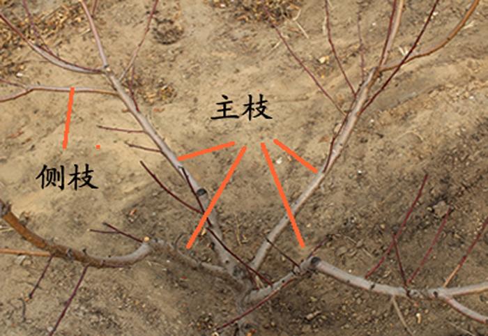 桃樹冬季整形修剪圖解 桃樹的特點是干性比較弱,但是,成枝力強,枝條密集。樹形一般是自然開心形,為了充分利用生長空間和光照,留3-4個主枝,密植桃樹或保護地栽培留2個主枝,也可以是紡錘形。自然開心形的修剪方法是: 1 桃樹定干30-40厘米高,沒有中央領導干,4個主枝,主枝的理想方向是東南方向、西南方向、東北方向、西北方向,這樣布局有利于充分吸收太陽光照,主枝與主干角度在50-65度之間,每個主枝上分布3-4個側枝,側枝間的間距是40-50厘米,主、側枝延長枝進行中短截,留底芽,有利于開張角度。